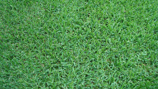 Triangle Turf Inc St Augustine Turf Grass Raleigh