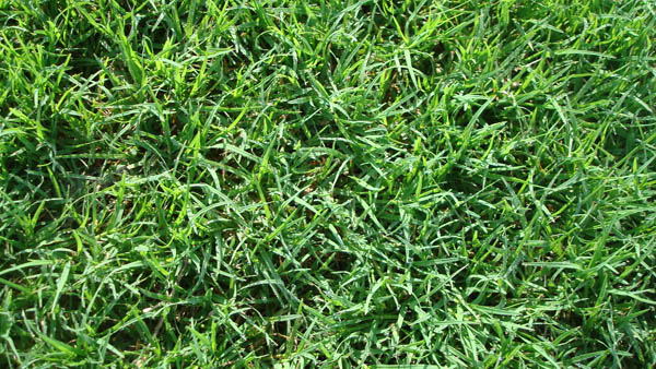 Turf Grass Sod Variety Bermudagrass Serving San