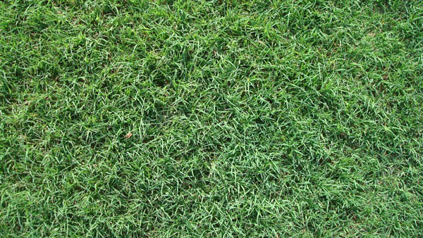 Turf Grass Sod Variety Bermudagrass Serving San