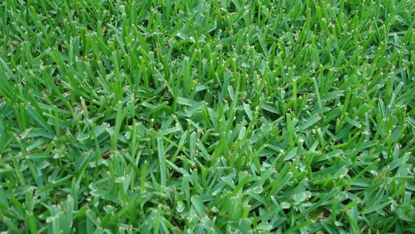 Triangle Turf Inc St Augustine Turf Grass Raleigh